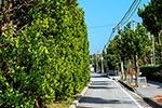 Garcina Trees