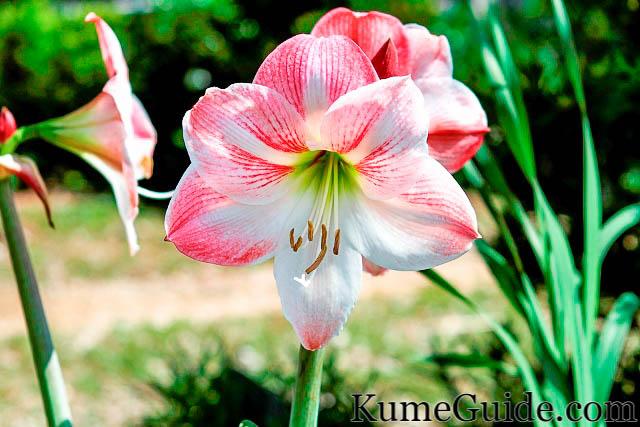 Haifan Flower