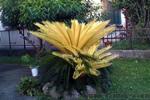 Golden Cycad