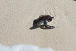 A Kume Island Sea Turtle